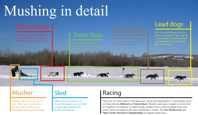 Sled dog mushing in detail